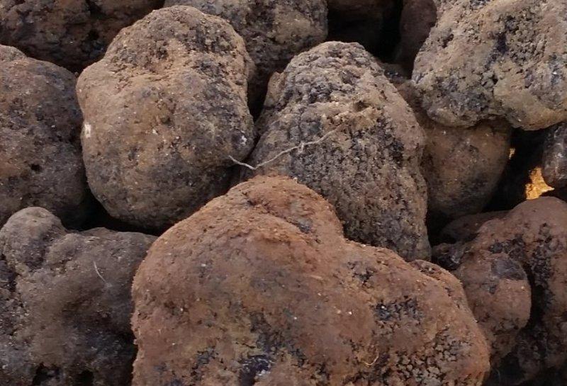 Voraussetzungen für den Trüffelanbau: Wahl der Trüffelart